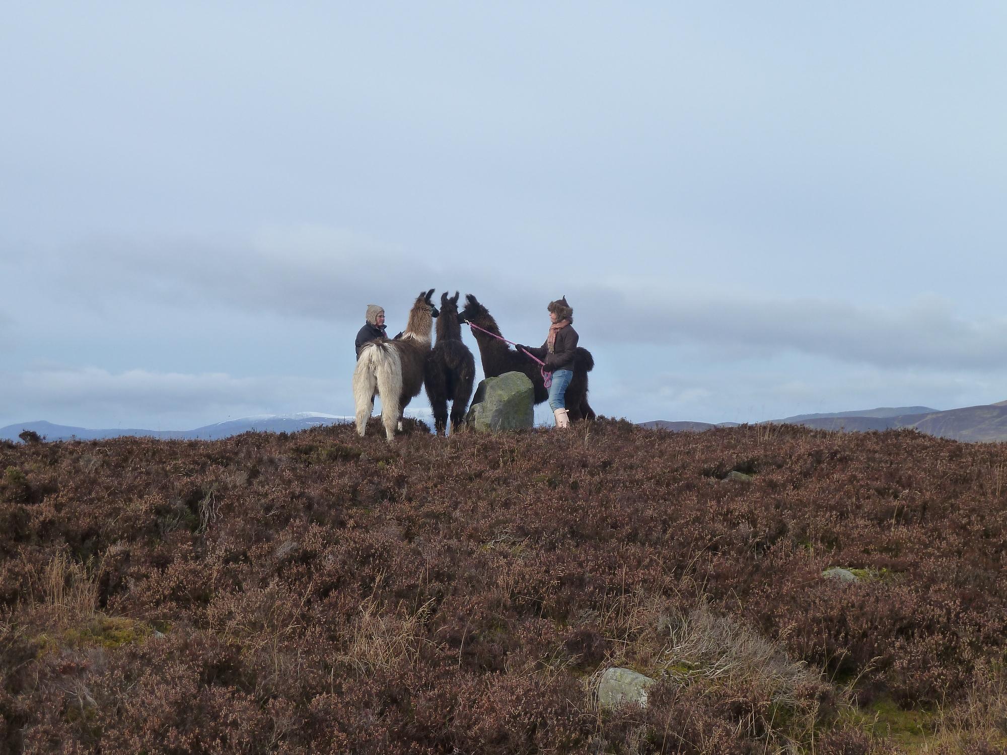 Llama trekking in the Cairngorms Glenshee Ecocamp