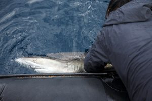 Shark tagging during the Sardine to collect data for the South Africa Shark Conservancy